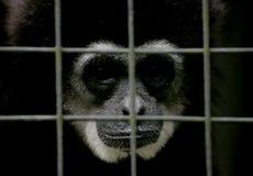 Обезьяна в зоопарке соотечественника Малайзии Стоковое Фото