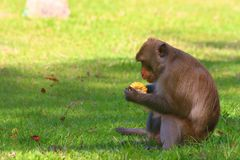 Обезьяна в открытом зоопарке, Таиланд стоковые фото