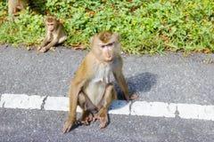 Обезьяна в природе, Таиланде Стоковое Изображение RF