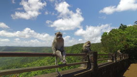 Обезьяна в тропическом лесе, Маврикий сток-видео