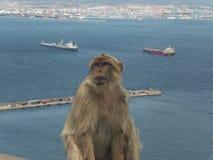 Обезьяна в Gibralta Стоковая Фотография RF