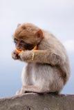 обезьяна Гибралтар Стоковые Изображения RF