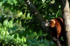 обезьяна дела Стоковое Изображение RF