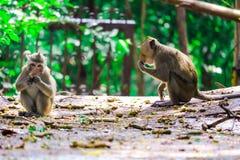 Обезьяна джунглей ест шнурок и плод падая на пол стоковое фото
