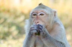 обезьяна еды фокуса стоковые фотографии rf