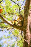 Обезьяна есть банан на дереве Стоковое фото RF