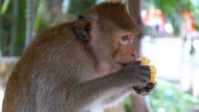 Обезьяна есть мозоль в джунглях Таиланд сток-видео