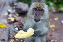 Обезьяна есть свежие фрукты на открытом воздухе Животное Таиланда стоковые изображения