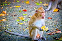 Обезьяна ест банан стоковая фотография rf