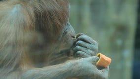 Обезьяна ест манго акции видеоматериалы