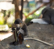 Обезьяна ест, обезьяна младенца с длинным хвостом Стоковое Изображение