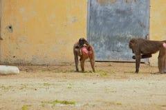 Обезьяна имея потеху в зоопарке в Баварии Германии в Нюрнберге стоковое изображение
