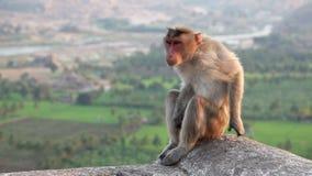 обезьяна Индии видеоматериал