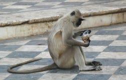 обезьяна Индии pushkar Стоковые Изображения RF