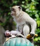 Обезьяна и ее младенец Стоковое Фото