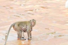 Обезьяна и мать младенца monkey, Длинн-замкнутая обезьяна макаки Стоковое Изображение