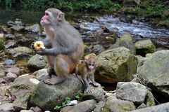 Обезьяна и младенец вокруг тропы в Wulingyuan scen Стоковая Фотография