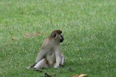 обезьяна Кении Стоковые Изображения RF