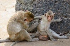 Обезьяна, макака краб-еды Среднего размера обезьяна, коричневый ha Стоковое фото RF