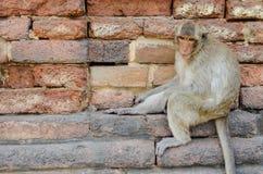 Обезьяна, макака краб-еды Среднего размера обезьяна, коричневый ha Стоковое Изображение