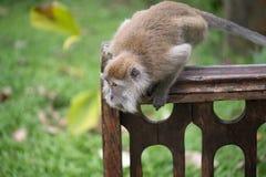 Обезьяна макака Стоковые Фотографии RF