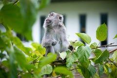 Обезьяна макака Стоковая Фотография RF