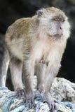 Обезьяна макака Стоковое Изображение RF