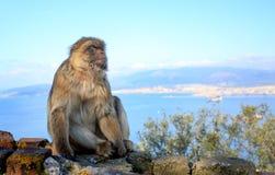 Обезьяна макаки в сидеть на стене в Гибралтаре Стоковые Фотографии RF