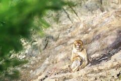 Обезьяна макаки Macaca сидя на утесе стоковая фотография rf