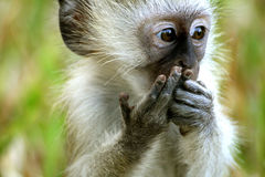 обезьяна малюсенькая Стоковые Фотографии RF