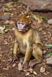 обезьяна Марокко Стоковая Фотография