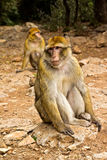 обезьяна Марокко Стоковое фото RF