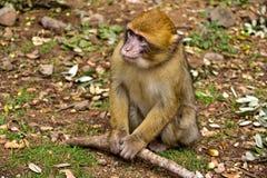 обезьяна Марокко Стоковое Изображение
