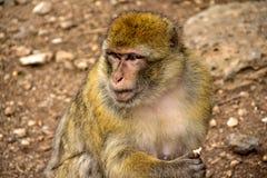 обезьяна Марокко Стоковая Фотография RF