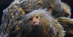 Обезьяна мартышки умышленно будучи выхоленным другой мартышкой Стоковая Фотография RF