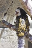 Обезьяна мартышки Стоковые Изображения RF