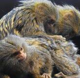 Обезьяна мартышки pigmy/pygmaea Cebuella холят другие стоковое изображение