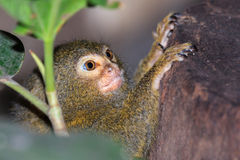обезьяна малая Стоковое Изображение