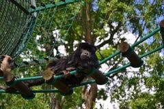 обезьяна малая Стоковая Фотография RF