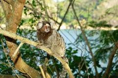 обезьяна малая Стоковые Фото