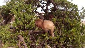 Обезьяна младенца смотрит камеру на дереве видеоматериал