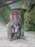 Обезьяна младенца с животным млекопитающего Африки зоопарка обезьяны матери Стоковое фото RF