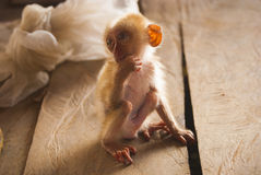 обезьяна младенца Стоковые Фотографии RF