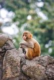 Обезьяна на виске Swayambunath, Катманду младенца, Непал Стоковые Фотографии RF
