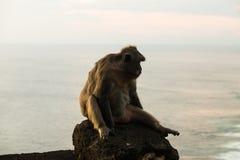Обезьяна на виске Uluwatu - Бали Индонезии Стоковая Фотография RF