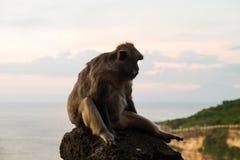 Обезьяна на виске Uluwatu - Бали Индонезии Стоковые Фотографии RF