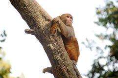 Обезьяна на дереве Стоковое Фото