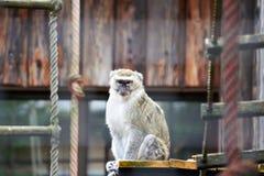 Обезьяна на зоопарке Стоковые Изображения RF