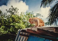 Обезьяна на крыше стоковая фотография rf