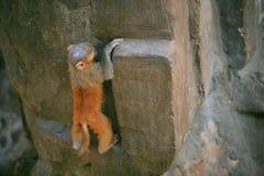 обезьяна непослушная стоковые изображения rf